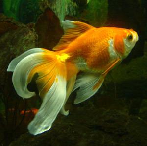 goldfish-aquarium-1359988-300X299